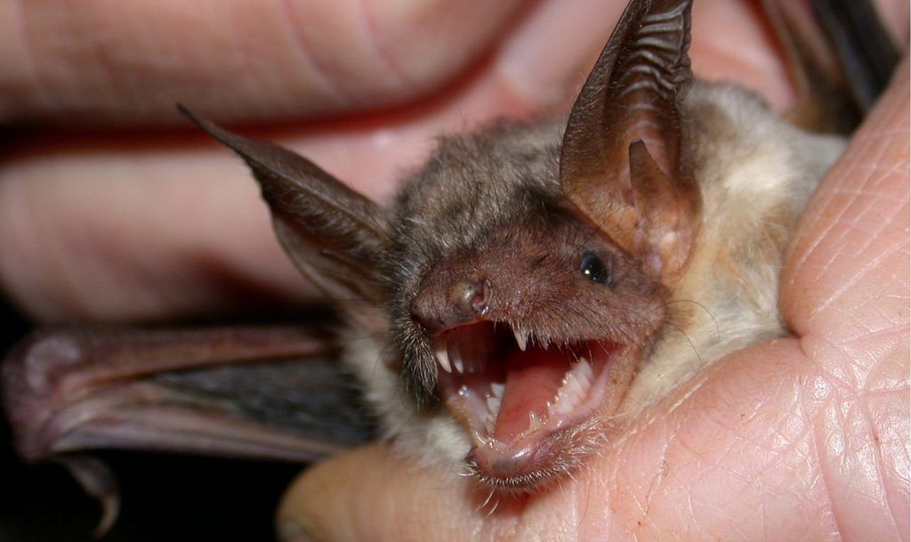 Louisville Bat Removal and Control 502-553-7622