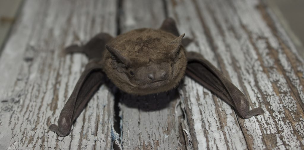 Emergency Bat Removal 502-553-7622