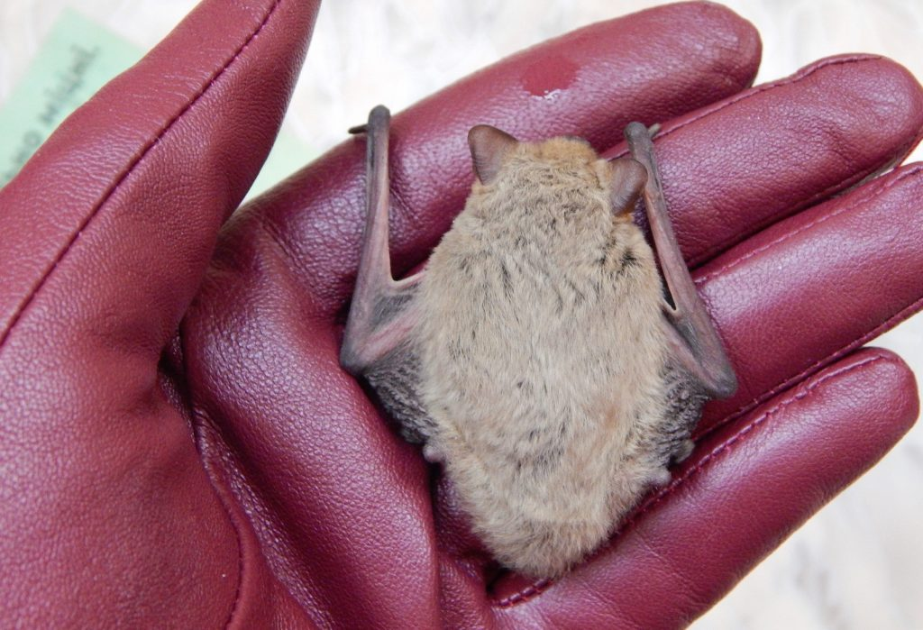 Continue Reading To Learn Which Types Of Risks Nuisance Bats Pose You And Your Property As Well How Get Rid Them In Accordance Local